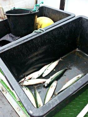 Noe av vår fangst etter få minutter utpå fjorden