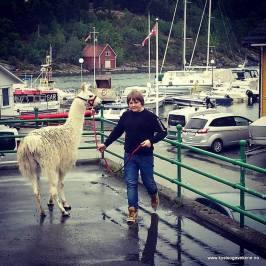 Ein ikkje fullt så lokal art - ein lama!