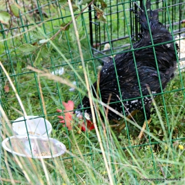 Ein hane høver i Hanevik